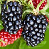 fruit hindi meaning
